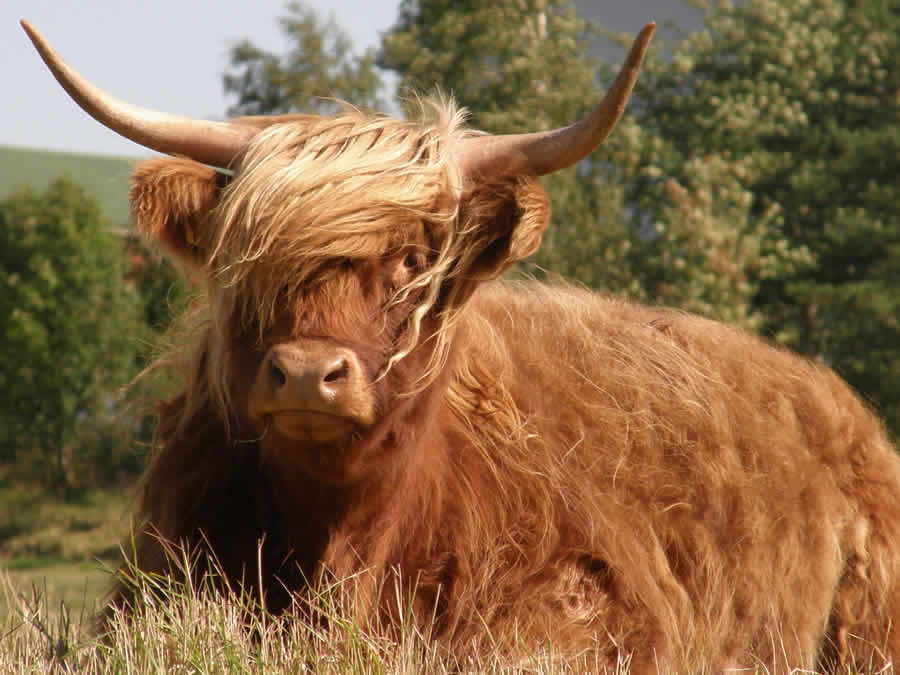 highland cattle historia